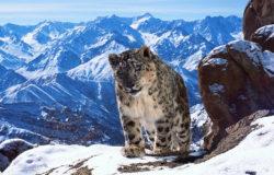 Snow Leopard - Uley, Ladakh, India