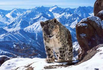 Snow Leopard - Uley, Ladakh, India